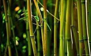 Du bambou pour ma maison ?
